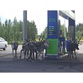 Thirsty reindeers in Lappland summer 2006