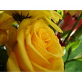 flower rose yellow