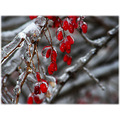 ice winter fruit branches