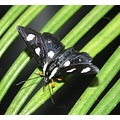 eight moth forester insect