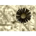 wild daisy flower negative color garden