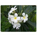 Frangipani from Tahiti (blossom in my garden). Nice, elegant and very fragrant, especially the ni...