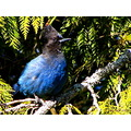 Birds wildlife stellers jay