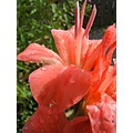 gladioli after shower