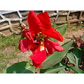 flower red lilly