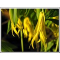 largefloweredbellwort yellow wildflower nature