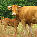 cow calf mother child limousin france