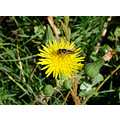 hover fly rest dandelion perth hills littleollie