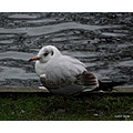 Seagull juvenille bird nature wildlife