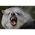 wolf snarl animal wildlife nature
