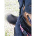 rottweiler dog animal pet family