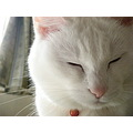 cat whitecat Japan Niigata Kuppy kitty