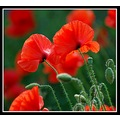 poppy poppies flower flowers red nature somerset somersetdreams