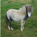welsh mountain pony pembrokeshire