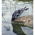 Pigeon Water Rock Bird Nature Drinking