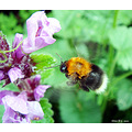 flower bumble bee