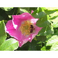 nature dogrose wasp insect