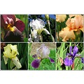 flowerpowerfriday funfriday irises