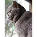 british shorthair cat feline animal pet family rip lili