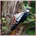 A lovely Great Spotted Woodpecker paid a visit to my garden.