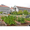 ucbfph garden uc berkeley university victory vegetables herbs library