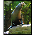 stlouis missouri us usa zoo animal sealion 2007