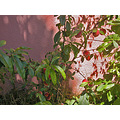 summer peaches tree wall shadow shadows oaklandfph