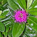 sfconsfph3 tropical plants green magenta