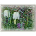 nature flower fritillaries