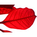 red leaf a part of poinsettia