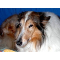 RoughCollie collie dog pet NiagaraFalls