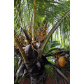 westerncaribbean cruise cozumel mexico plants palm tree coconuts