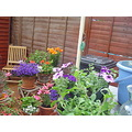 flowers in pots, Back garden June 2009