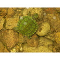 red-eared slider's first swim