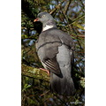 woodpigeon bird wildlife wood pigeon