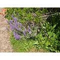 sibleyfph spring wildflowers path dog lupines lupins