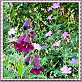 flowers penstemons geraniums