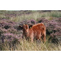 Peak District Derbyshire Curbar Highland Calf