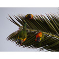 Rainbow Lorikeets upsidedown perth littleollie