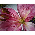flowers lily pink waterdroplet