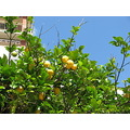 liguria italy cinque terre sentiero trail sea sky lemon tree