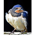 Baby Swallow