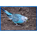 This is a budgerigar