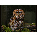 wildlife bird nature tawny owl