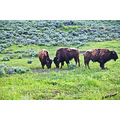 yellowstone yellowstonenationalpark bison