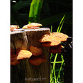 mushroomclub tree stump fungi perth littleollie