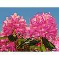 My Rododendron 2011 June pink blue Sky Skane Sweden