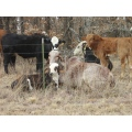 pasture Oklahoma outdoors cattle cows