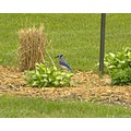 Bluejay Bird nature wildlife