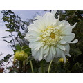 nature flower dahlia garden janos